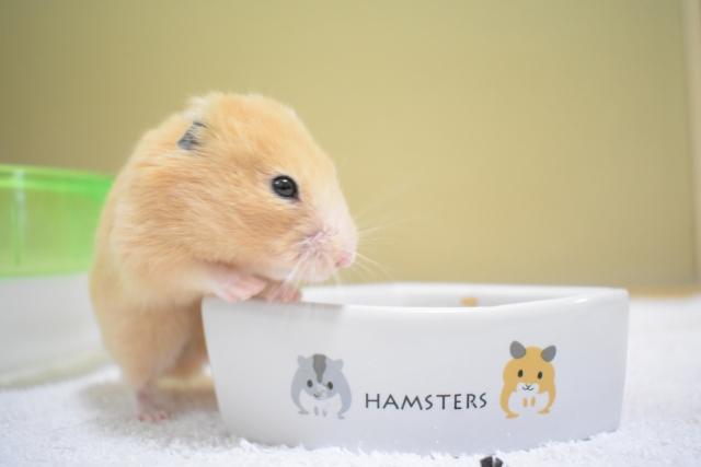 ハムスターは一人暮らしでも飼える?飼うときの注意点は?