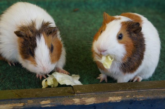 ハムスターにあげる野菜の量は