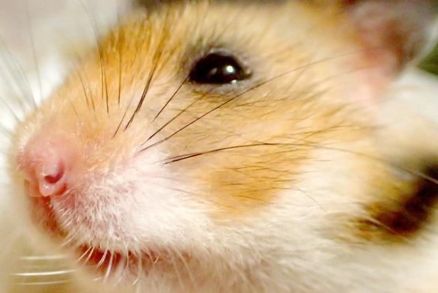 ハムスターの頬袋の餌が腐る